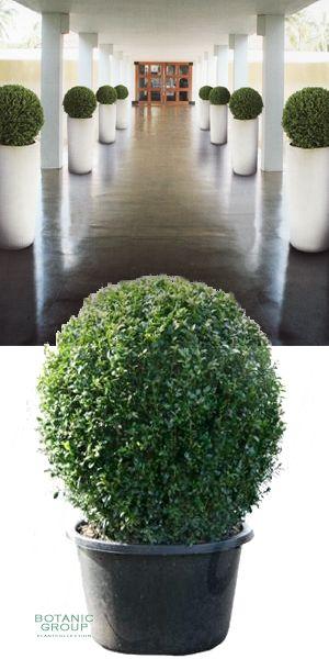 buxus sempervirens kugel in exklusiver pflanzs ule buchskugel pflanzen pflanzgef e und. Black Bedroom Furniture Sets. Home Design Ideas