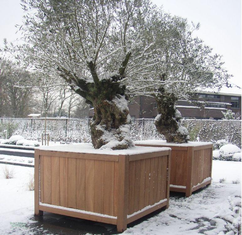olea europea olivenbaum im hartholz pflanzgef. Black Bedroom Furniture Sets. Home Design Ideas