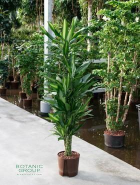dracena cintho dracaene verzweigt zimmerpflanze. Black Bedroom Furniture Sets. Home Design Ideas
