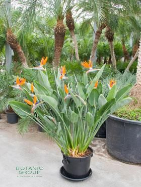 Strelitzia regineae pardiesvogelblume pflanzenversand for Zimmer pflanzenversand