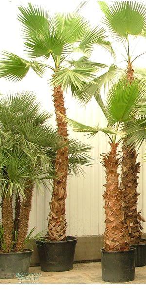 washingtonia robusta petticoat palme pflanzenversand pflanzenhandel pflanzen. Black Bedroom Furniture Sets. Home Design Ideas