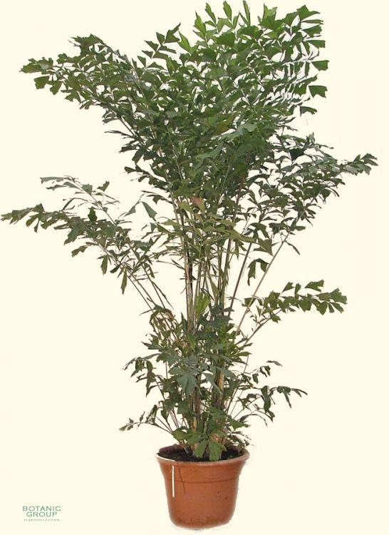 Caryota mitis fischschwanzpalme pflanzenversand for Pflanzenversand zimmerpflanzen