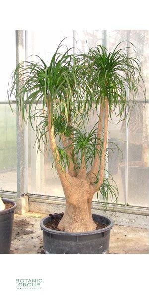 exklusive gro pflanze beaucarnea recurvata elefantenfu pflanzen pflanzgef e und. Black Bedroom Furniture Sets. Home Design Ideas