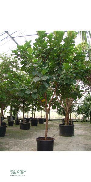 Ficus lyrata geigenfeige pflanzenversand for Pflanzenversand zimmerpflanzen