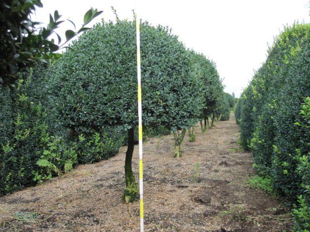 buxus sempervirens arborescens buchsbaum kugel auf stamm pflanzenversand pflanzenhandel. Black Bedroom Furniture Sets. Home Design Ideas