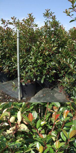 photinia serrulata red robin glanzmispel pflanzenversand pflanzenhandel pflanzen. Black Bedroom Furniture Sets. Home Design Ideas
