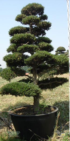 Ilex crenata bonsai japanische stechpalme pflanzenversand pflanzenhandel pflanzen - Japanische zimmerpflanzen ...
