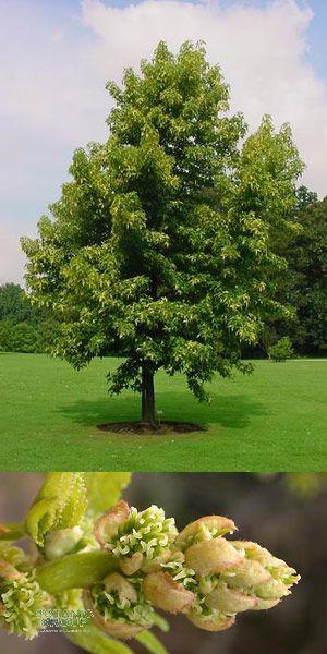 liquidambar stiracyflua amerikanischer amberbaum pflanzenversand pflanzenhandel pflanzen. Black Bedroom Furniture Sets. Home Design Ideas