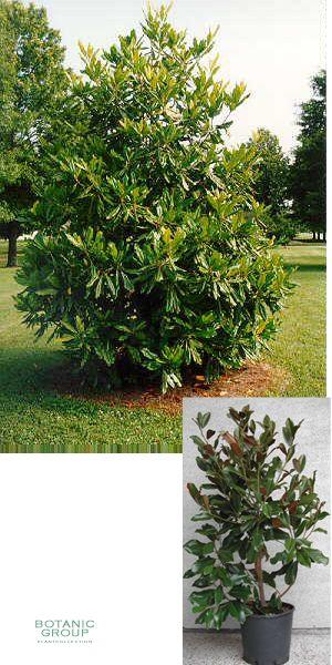 magnolia grandiflora gallisoniensis immergr ne magnolie. Black Bedroom Furniture Sets. Home Design Ideas