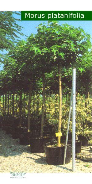 morus platanifolia platanenbl ttriger maulbeerbaum. Black Bedroom Furniture Sets. Home Design Ideas