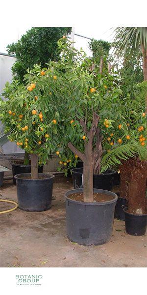 citrus clementine clementine mandarine pflanzen. Black Bedroom Furniture Sets. Home Design Ideas