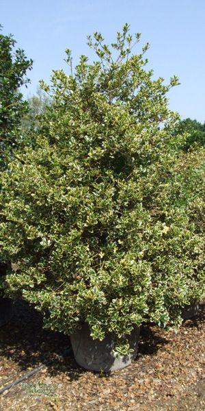 ilex aquifolium 39 aureomarginata 39 europ ische stechpalme pflanzenversand pflanzenhandel. Black Bedroom Furniture Sets. Home Design Ideas