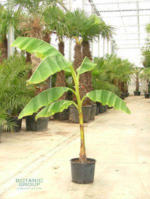 Musa bayo freilandbanane pflanzenversand for Pflanzenversand zimmerpflanzen
