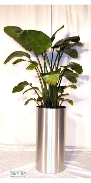 Zimmerpflanze strelizia nicola riesenstrelitzie for Zimmer pflanzenversand