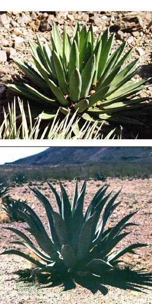 Agave scabra Pflanzenversand, Pflanzenhandel Pflanzen, Pflanzgefäße und Stadtmöblierung bei  ~ 01163053_Unterschied Sukkulente Xerophyten