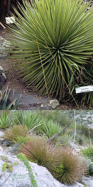 Agave striata Pflanzenversand, Pflanzenhandel Pflanzen, Pflanzgefäße und Stadtmöblierung bei  ~ 01163053_Unterschied Sukkulente Xerophyten