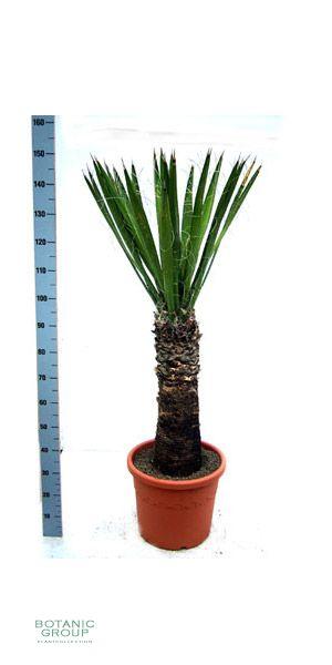 Yucca carnerosana pflanzenversand pflanzenhandel for Pflanzenversand zimmerpflanzen