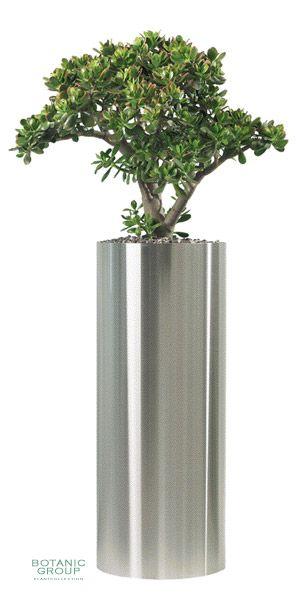crassula ovata 39 sunset 39 in einer edelstahls ule pflanzen pflanzgef e und stadtm blierung von. Black Bedroom Furniture Sets. Home Design Ideas