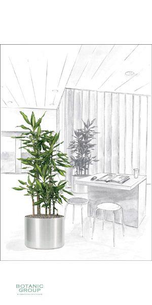 dracaena fragans 39 cintho 39 im aluminumgef. Black Bedroom Furniture Sets. Home Design Ideas
