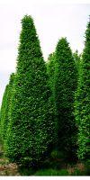 carpinus betulus fastigiata s ulen hainbuche pflanzenversand pflanzenhandel pflanzen. Black Bedroom Furniture Sets. Home Design Ideas