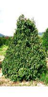 b ume laubb ume gro pflanzen direkt aus der baumschule seite 5 pflanzenversand. Black Bedroom Furniture Sets. Home Design Ideas