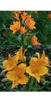 Alstroemeria 'Orange King' - Lily of Inka