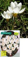 Crocus Large Flowering 'White'