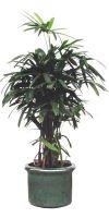 Zimmerpflanzen tropische pflanzen b ropflanzen for Pflanzenversand zimmerpflanzen