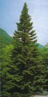 Abies alba - European silver fir