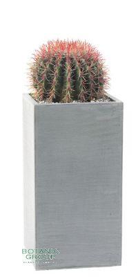 Ferocactus Stainesii