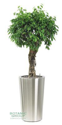 Ficus Benjamina Columnar - Ficus im Pflanzgefäß