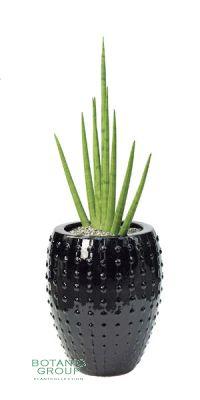 Sansevieria Cylindrica Variegata im Pflanzgefäß