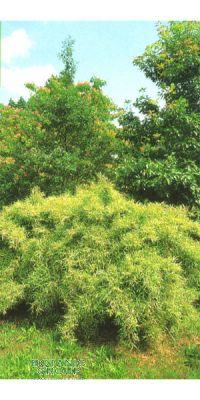 Bambus - Pleioblastus chino ´Elegantissimus´
