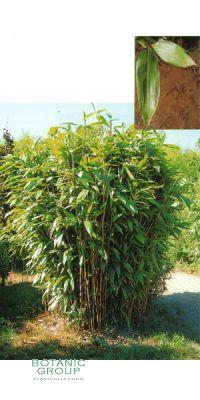 Sasa latifolia