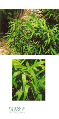 Bambus - Arundinaria anceps