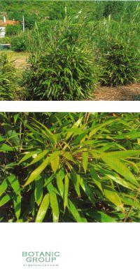 Bambus - Arundinaria kunishii