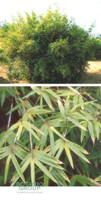 Bambus - Bambusa multiplex