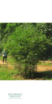Bambus - Bambusa ventricosa