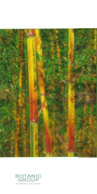 Bambus - Phyllostachys aureosulcata