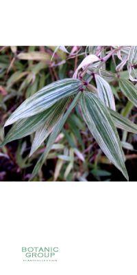 Bambus - Phyllostachys flexuosa