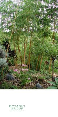Bambus - Phyllostachys glauca