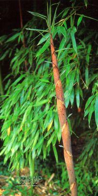 Bambus - Phyllostachys meyeri