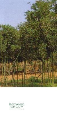 Bambus - Phyllostachys propinqua