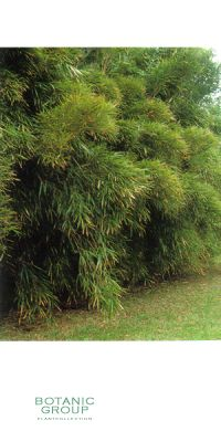 Bambus - Pleioblastus linearis