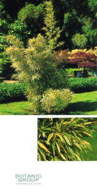 Bambus - Sinobambusa tootsik