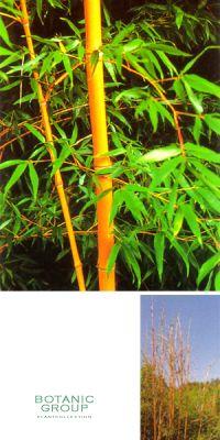Phyllostachys bambusoides ´Holochrysa´