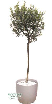 Olea Europea - Olive Tree