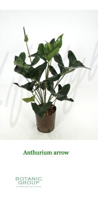 Anthurium - Flamingo Lily
