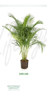 Areca chrysalidocarpus lutescens - Areca- , Goldfrucht Palme