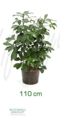 Corynocarpus leavigata - Karaka tree